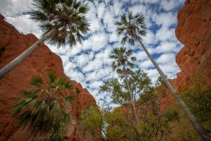 Livistona Palms growing in the entrance of Echidna Chasm in the Bungle Bungle Range, Purnululu World Heritage Listed National Park, Kimberley, Western Australia
